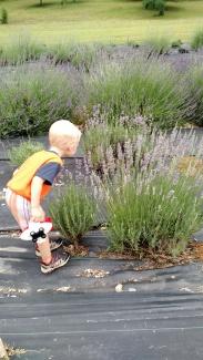 Virginia outdoors Lavender Farm